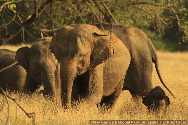 elephant-herd-in-the-grassland-_mg_5910-may-06-2012