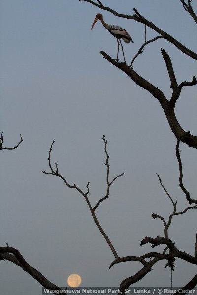 silhouette-of-asian-openbill-with-the-vesak-full-moon-_mg_6356-may-07-2012