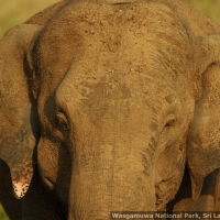 elephant-portrait-wasgamuwa-_mg_6139-may-06-2012