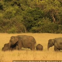 the-herd-on-the-move-wasgamuwa-_mg_6100-may-06-2012
