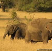 two-female-elephants-with-tushes-at-wasgamuwa-_mg_6034-may-06-2012